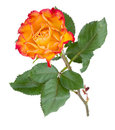Orange rose flower Royalty Free Stock Photography