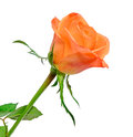 Orange rose flower, close up, floral texture, white background. Royalty Free Stock Photo