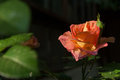 Orange rose flower close-up photo with dark background, drops of water Royalty Free Stock Photo