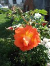 Orange rose flowers on the rose bush in the garden in summer Royalty Free Stock Photo