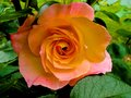 Orange rose in full bloom Royalty Free Stock Photo