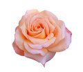 Orange rose isolated on white background Royalty Free Stock Photos
