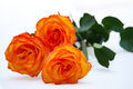 Orange rose isolated on white background Stock Images