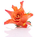 Orange rose isolated on white background cutout Royalty Free Stock Photos