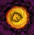Orange rose and purple lilies Royalty Free Stock Images