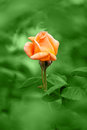 Orange rose on rain green background Stock Images