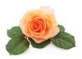 Orange rose after a rain. Royalty Free Stock Photo