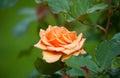 Orange rose sort the cheshire regiment beautiful in garden varietal name fryyat Royalty Free Stock Images