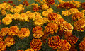 Orange Roses in bloom Royalty Free Stock Image