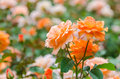 Orange roses close up photo Royalty Free Stock Image