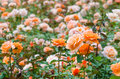 Orange roses garden close up Stock Photography