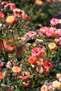Orange roses garden many beautiful flowers Stock Images