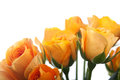 Orange roses isolated Stock Photo