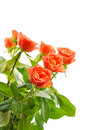 Orange roses isolated on white Stock Photography