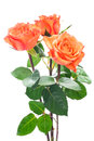 Orange roses isolated on the white background Stock Photography