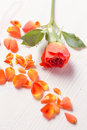 Orange roses rose bud and petals on wooden background Royalty Free Stock Photo