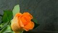 Orange roses on slate Royalty Free Stock Photo