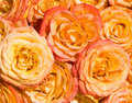 Orange roses under bright sunlight, of Stock Images