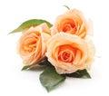 Orange roses. Royalty Free Stock Photo