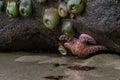 Orange Sea Star and Anemones Royalty Free Stock Photo