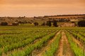 Orange Sky over Green Vineyard Stock Photography