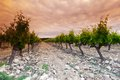 Orange Sky over Green Vineyard Royalty Free Stock Image
