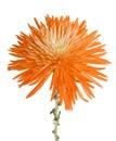 Orange Spider Mum Royalty Free Stock Photo