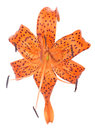 Orange spotted lily bloom isolated on white Royalty Free Stock Photo