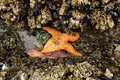 Orange starfish exposed by low tides