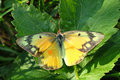 Orange Sulphur Butterfly (Colias eurytheme) Royalty Free Stock Photo