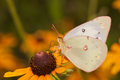 Orange sulphur butterfly feeding on a black eyed susan flower in summer Royalty Free Stock Images