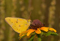 Orange sulphur butterfly feeding on a black eyed susan flower with summer meadow beackground Stock Photo