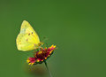 Orange Sulphur (Colias eurytheme) butterfly Stock Images