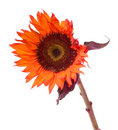 Orange sunflower isolated on white Stock Images