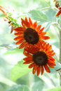 Orange sunflowers in bloom Royalty Free Stock Image