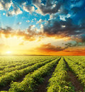 Orange sunset in dramatic sky over green field with tomat Royalty Free Stock Photo