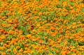 Orange tagetes flowers large field Stock Photos