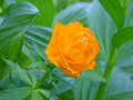 Orange taiga flower on the grass Stock Photos
