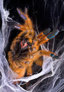 Orange Tarantula displaying fangs Royalty Free Stock Photo