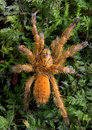 Orange tarantula on moss Royalty Free Stock Photo