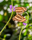 Orange Tiger Butterflies Royalty Free Stock Photo