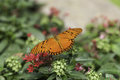 Orange tiger butterfly resting on a flower red flowers Royalty Free Stock Image