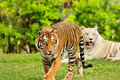 Orange Tiger and White Tiger Royalty Free Stock Photos