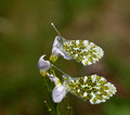 Orange-tip Butterflies Underwing Royalty Free Stock Image