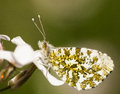 Orange tip butterfly this is an Royalty Free Stock Photo