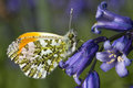 Orange tip butterfly anthocharis cardamines on a bluebell male Stock Photo