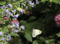 Orange Tip Butterly and Lacewing Butterfly Royalty Free Stock Image