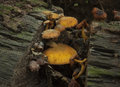 Orange Toadstools Royalty Free Stock Photo
