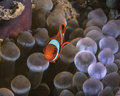Orange tomato clownfish hovers over glowing bulb tentacles amphiprion frenatus tipped of host anemone entacmaea quadricolor ambon Royalty Free Stock Photos