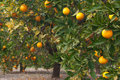Orange tree Royalty Free Stock Image